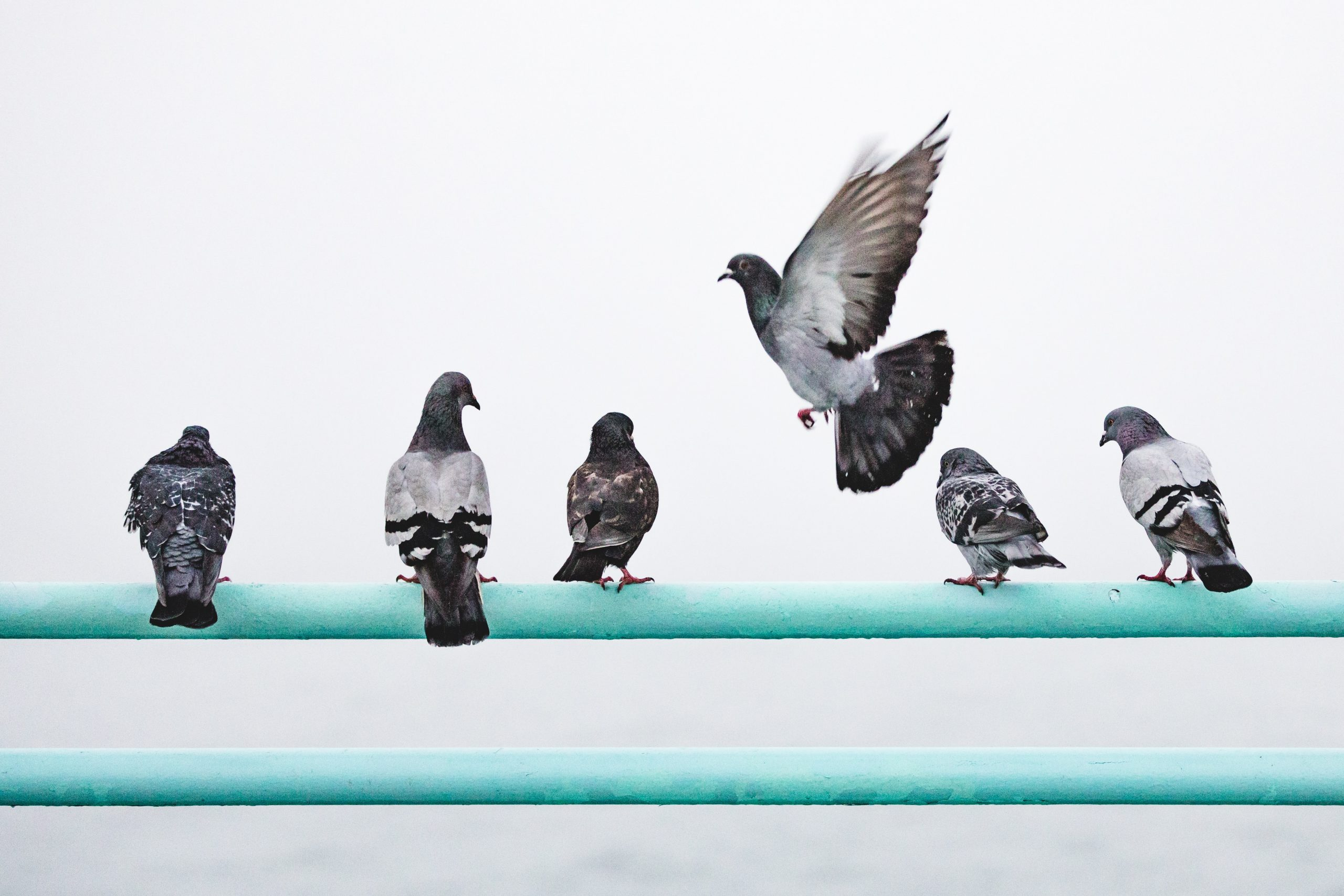 A flight of pigeons overlooking a grey sky